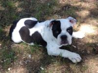 ACA registered male Bulldog pup He is 3 months old