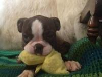 Bulldog mini puppys Very sweet loving and playful Very