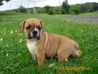 Half the Bull- Fraction of the cost! English Bulldog