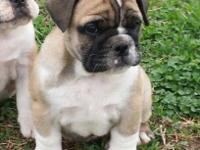 I have two female bulldog puppies left out of our