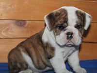 We have available 2 English bulldog puppies,1 male and
