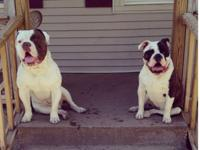 I have 3 4 week old olde english bulldogge puppies for
