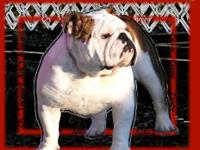 www.taggartsbulldogs.com Champion sired puppies! Thier