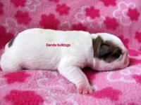 we have a new litter of bulldog puppies. there are