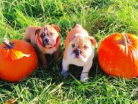 Adorable Bulldog Puppy's for sale! 8 weeks old first