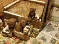 I have 2 male and 5 females will be ready Jan 4th Dog