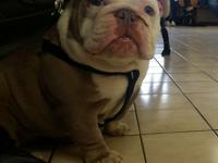 Akc registered English bulldog pups available.. Pups