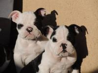 We have 2 male black and white AKC English bulldog
