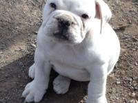 Registered Valley Bulldog female puppies $600 OBO Pups