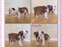 I have these 4 beautiful and adorable English Bulldogs