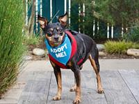 Bullet's story Breed: Miniature Pinscher Age: 8 years
