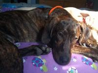 Meet Bullet!! This beautiful brindle hound mix is about