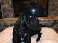 One year old black brindle Bullmastiff intact male. AKC