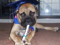 Bullmastiff - Penelope - Medium - Young - Female - Dog