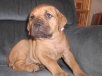I am a small hobby breeder. I feel Bullmastiffs are a