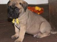 Bullmastiff Puppies for Sale,Registered/registerable,