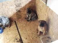 Description VERY LARGE BULLMASTIFF PUPS for sale