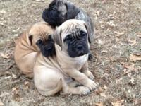 BULLMASTIFF LOVING PUPPY. Definitely adorable, well
