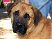 Bullmastiff - Tank - Extra Large - Adult - Male - Dog