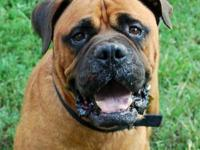 "Bullmastiff - Tom ""courtesy Posting"" - Extra Large -"