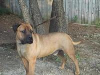 Beautiful Bandogge pups, heavy boned, 3wks old, 4