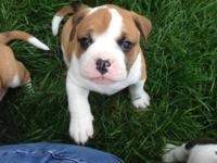 Meet Chunk. He is a 6 week old Bulloxer Puppy. His mom
