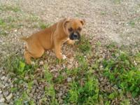 I have 1 Bulloxer pup still available for sale out of a
