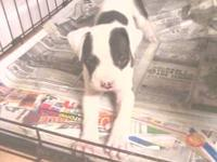 American Bulldog cross with a boxer.. is a whole new
