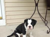7 week old Bulloxer puppy. Mom is a purebred boxer and