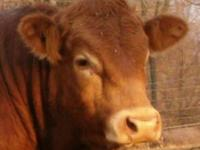 Good selection of black and red Limousin bulls. Add