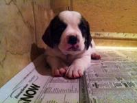 Adorable BullyBasset pups will be ready for their new