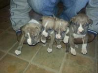Bully bluenose pitbull puppies ready to go to there new