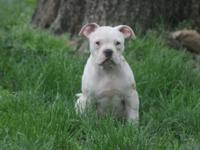 I have an american bulldog lady she is 12 weeks old