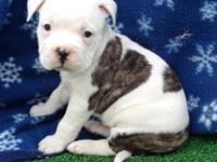 Bully female pup $400 OBO White with brindle patches