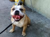 Beautiful bully male very loving good with kids and