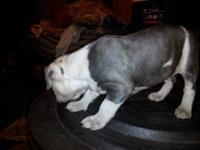 I have a bully pitbull his a blue brindle puppy.He will