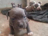 Hello again we have some bully pit bulls for sale for