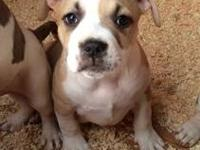 Bully puppies for sale. 2 males and 3 females. Ped