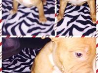 have 3 bully breed pit puppies left available all