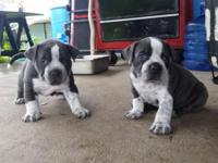 4x Mikelands bubba Gotti pitbull puppies, 3 females and
