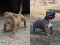 We have a lovely American bully female for sale ukc
