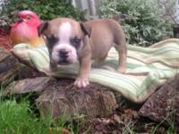 Bulldog puppy! MALE. Father is an AKC English Bulldog,