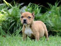 12 Week Old Bully Pups For Sale. Don't miss out priced