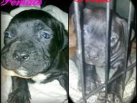 I have 2 lovely bully young puppies here available for