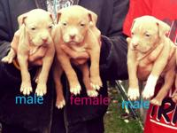 have 3 bully pitbull babies left. Amazing family dogs!!