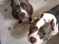 Bullypits born February 15, 2015 only two left 1 male 1