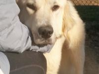 Bulma is a sweet young female Pyr who is gaining