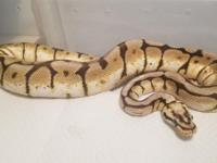 Here I have a bumblebee female ball python In good