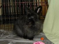 Bunatella Versace is an adult female Lionhead looking