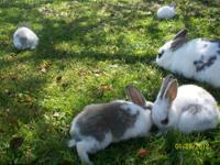 We have some trios of rabbits forsale, all under two